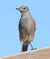 Lesser Shrike-tyrant.jpg