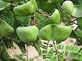 Libidibia coriaria - Divi-divi Tree - Caesalpinia coriaria - WikiSangamotsavam 2018, Kottappuram, Kodungalloor (7).jpg