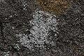 Lichen (35428168566).jpg