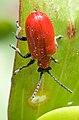 Lilioceris lilii 001.jpg