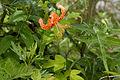Lilium leichtlinii var. tigrinum 01.jpg