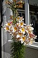Lilium regale, regal lily in Essex, England.jpg