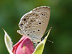 Lime Blue Chilades laius Wet Season Form by Kadavoor.JPG