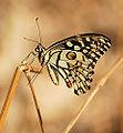 Lime Butterfly.jpg