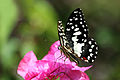 Lime swallowtail (Papilio demoleus).JPG
