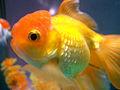 Lionheadgoldfish.JPG