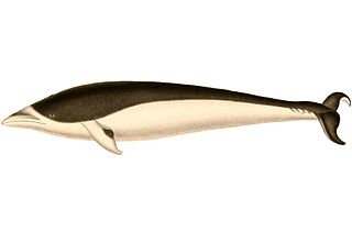 Southern right whale dolphin Species of mammal