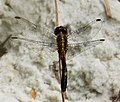 Little Blue Dragonlet Maturing male. Erythrodiplax minuscula (39341295892).jpg