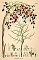 Livistona humilis Bauer in Martius Historia naturalis palmarum plate 110.jpg