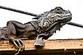 Lizard (6917384277).jpg