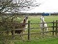Llamas At The Fence. - geograph.org.uk - 84744.jpg