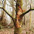 Locatie, Natuurterrein De Famberhorst. Aftakeling jong dood beukenboompje (Fagus sylvatica).jpg