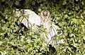 Long-eared owl (46460649395).jpg