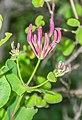 Lonicera caprifolium in Lozere (7).jpg