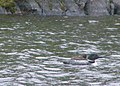 Loon & chick P7160631a.jpg