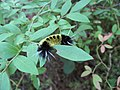 Lophocampa maculata (spotted tussock moth) caterpillar.jpg