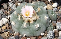 Lophophora williamsii pm.jpg