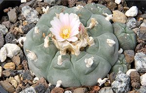 Psychoactive cactus - Peyote with flower