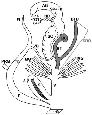 Rappresentazione schematica del sistema riproduttivo dei Pulmonata. Per le abbreviazioni vedi il testo. Tratto da: Koene, 2005[2]