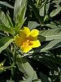 Ludwigia grandiflora saint-mathurin-sur-loire 49 10082007 4.JPG