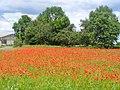 Ludwigsfelde - Mohn (Poppies) - geo.hlipp.de - 37902.jpg