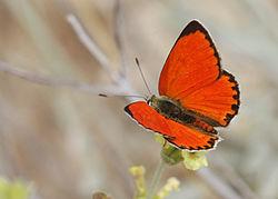 Lycaena thetis - Fiery copper.jpg