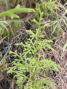 Lycopodium plant.jpg