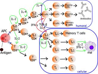 T helper cell - Image: Lymphocyte activation