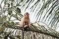 Macaco Prego no Pantanal.jpg