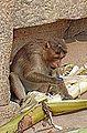Macaque à bonnet (Hampi, Inde) (14071372558).jpg