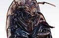 Macro portrait of a wood louse.jpg