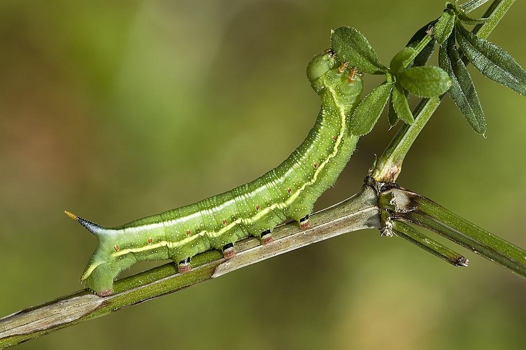 Macroglossum.stellatarum.caterpillar.3078.Liosi.jpg