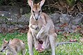 Macropus agilis pouch and joey 2.jpg