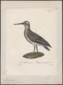 Macrorhamphus griseus - 1825-1834 - Print - Iconographia Zoologica - Special Collections University of Amsterdam - UBA01 IZ17400285.tif