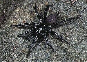 Hexathelidae - Male Macrothele yaginumai from Okinawa