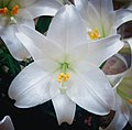 Madonna Lily Beauty (253329187).jpeg