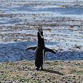 Magellanic Penguin (5540890291).jpg