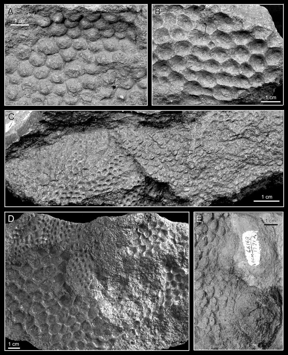 Magnapaulia skin
