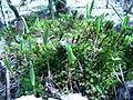 Maianthemum canadense, Sault Ste Marie 1.JPG