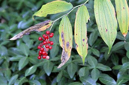 Maianthemum racemosum SCA-7285-86.jpg
