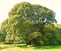 Maiden Sycamore at Auchans.JPG