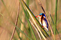 Malachite kingfisher alcedo cristata.jpg