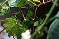 Malaiische Riesengespenstschrecke (Heteropteryx dilatata) Blumengärten Hirschstetten Wien 2014 a.jpg