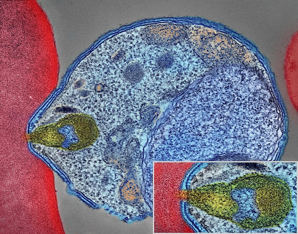 Malaria Parasite Connecting to Human Red Blood Cell (34034143483)
