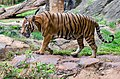 Malayan Tiger walking1.jpg