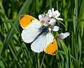 Male Orange-tip Anthocharis cardamines (33296089774).jpg