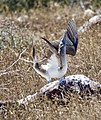 Male blue-footed booby in courtship display. (47006815534).jpg