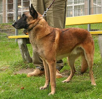 Belgian Shepherd Malinois during show of dogs ...