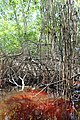 Malpighiales - Rhizophora mangle - 31.jpg