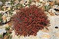 Malta - Ghajnsielem - Comino - Euphorbia melitensis 08 ies.jpg